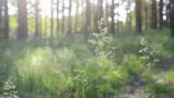 Common meadow-grass panicles blown by wind in forest video