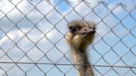 common ostrich animal head behind zoo fence on cloudy sky background video