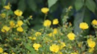 Common Purslane Flower video