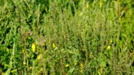 Common Ragweed video