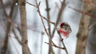 Common Redpoll, Acanthis flammea. in Algonquin, Canada video