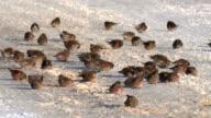 Common Redpoll video