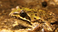Common River Frog video