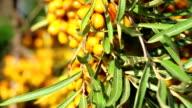 A common sea-buckthorn berries in the garden vertical panning video