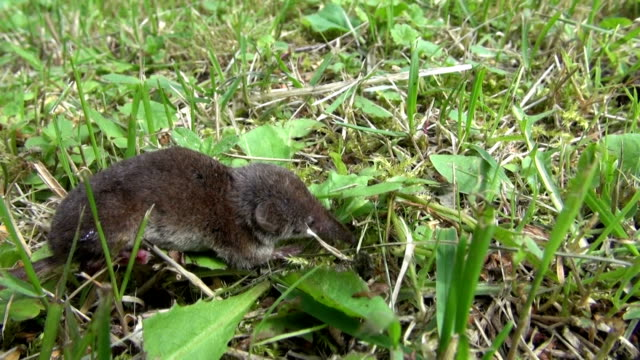 Common shrew in grass video