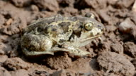 Common spadefoot breathing video