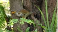 Common squirrel monkeys. video