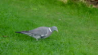 A Common Wood Pigeon bird walking on the grass video