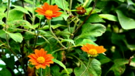 Common zinnia video