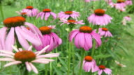 Cone Flowers Blowing In The Wind video