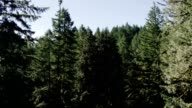 Conifer Forest video