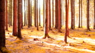 Coniferous Forest in the Sunlight PAN video