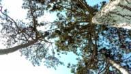 Coniferous Forest. video
