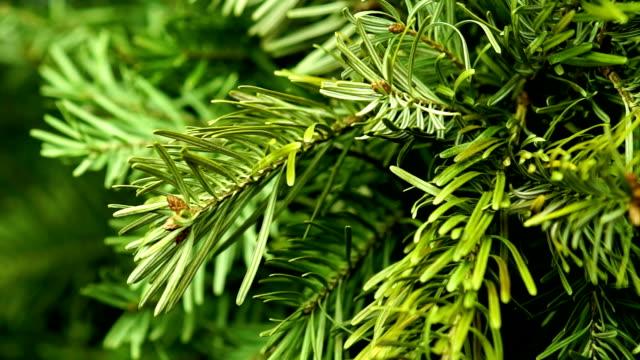 Coniferous Tree Rotate video