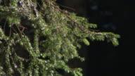 HD: Coniferous tree video