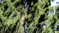 Coniferous Tree video