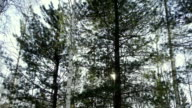 Conifers on a background of sky and sun video