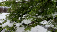 Consequences of a snow storm in spring. Broken tree with green foliage is covered with snow, snowy branches, snow and flowers, snowfall, climate change video