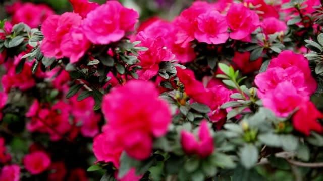 Continuous Carpet of Pink Flowers on Azaleas Bushes video