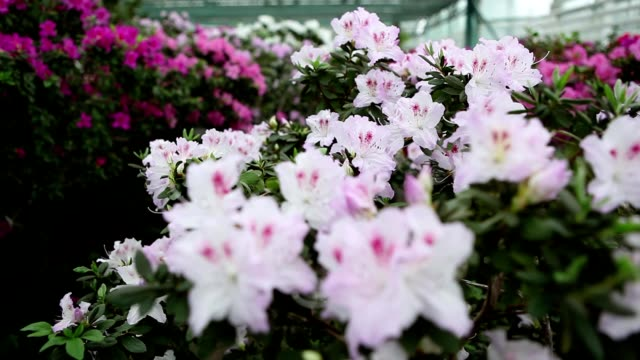 Continuous Carpet of White And Purple Flowers of Azaleains in Greenhouse Focus   Change video