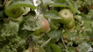Cooking Apples On The Tree video