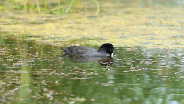Coot in the water video