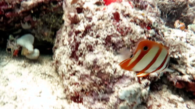 Copperband Butterfly Fish, Sipadan, Malaysia video