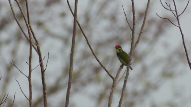 coppersmith barbet relax on tree branch video