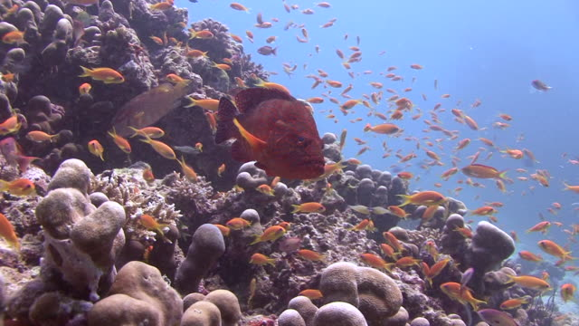 Coral Grouper video