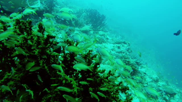 Coral reef and tropical Fish. video