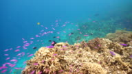 Coral reef and tropical fish.Philippines video