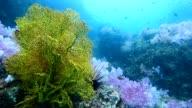 coral reef at 'Hin Khao' pinnacle. near Bara estuary and Lipe Island very beautiful attraction, Stun provience, Thailand video