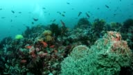 Coral reef fishes video
