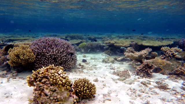 Coral reef garden on Maldives video