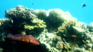 Coral reef of Red Sea video