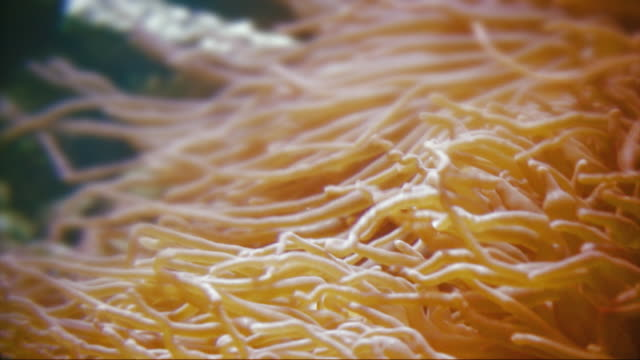 Coral reef - orange Anemone version F video