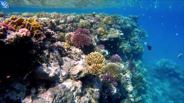 Coral reef with Damselfish on Red Sea video