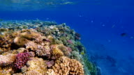 Coral reef with lot of Fish / Red Sea / Marsa Alam video