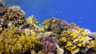 Coral reef with lot of small tropical Fishes in Slow Motion video