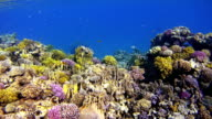 Coral reef with lot of tropical Fish in Egypt video