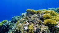 Coral reef with lot of tropical Fish on Red Sea / Marsa Alam video