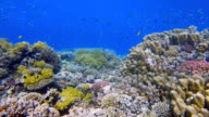 Coral reef with lot of tropical fish / Red Sea video
