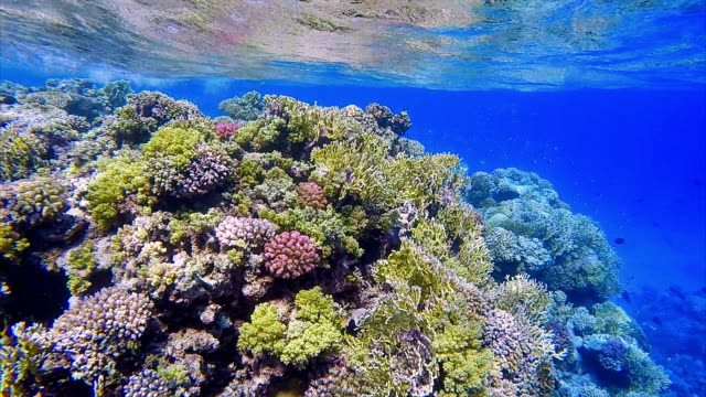 Coral reef with lot of tropical Fish / Sea life Red Sea video