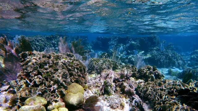 Coral reef with many Venus sea fan / gorgonian sea fan on Hol Chan Marine Reserve Caribbean Sea - Belize Barrier Reef / Ambergris Caye video