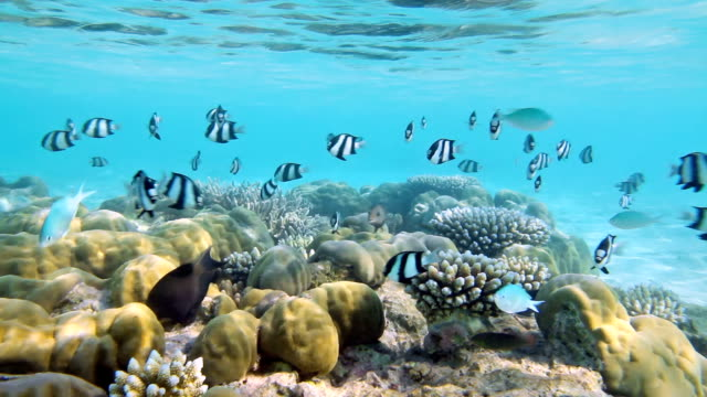 Coral Reef with shoal of Whitetail dascyllus video