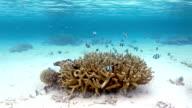Coral with shoal of Whitetail dascyllus Damselfish video