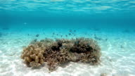 Coral with shoal of Whitetail dascyllus on Maldives video