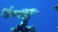 Corals in Red Sea video