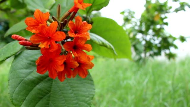 Cordia Flowers video