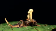 Cordyceps fungus infecting a cricket video